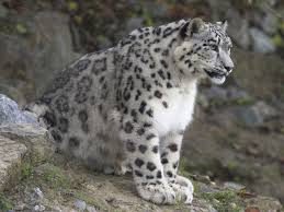 Snow Leopards have to have well-adapted respiratory features in order to  survive the thin mountain air. These creatures have 2 main respiratory  adaptations ...
